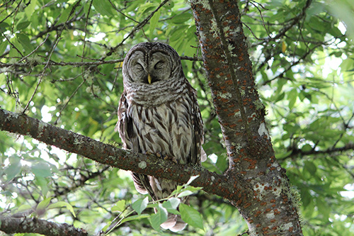 Barred Owl - photo by Pat Orvidas